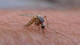 Komary w natarciu. Jak uchronić się przed ukłuciem