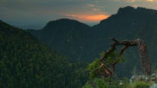 """""""Nie wiemy, czy drzewo przeżyje"""". 500-letnia sosna uszkodzona w trakcie akcji ratowniczej"""
